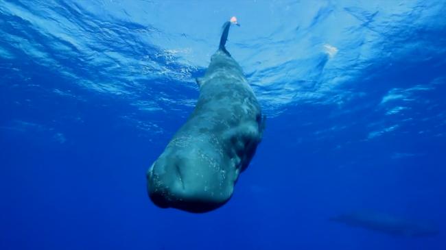 マッコウクジラの画像 p1_18