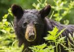 black-bear-1611349_960_720