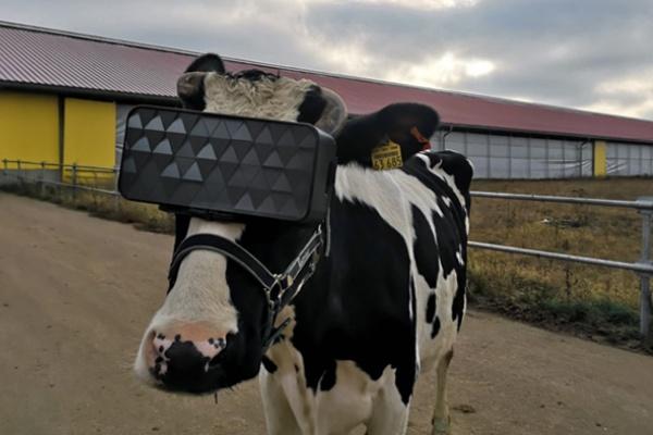 VRニュースイッキ見_ロシアで行われた牛にVRを見せて牛乳の生産量アップの試み
