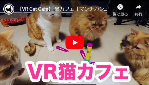マンチカンの猫カフェVR動画